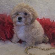 Poodle mix Maltipoo puppy