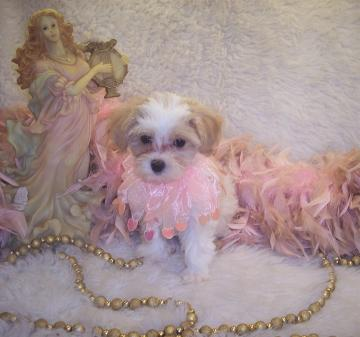 one of our new sold Maltpoo puppies.