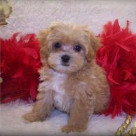 Teacup Apricot Maltipoo puppy