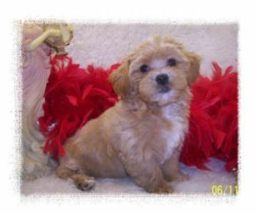 Beautiful Toy Apricot Maltipoo puppy living in Atlanta, GA.