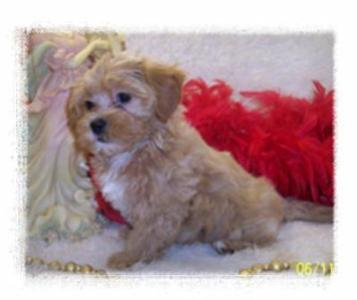 Beautiful Toy Apricot Maltipoo puppy