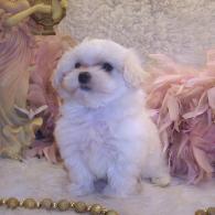 White Maltipoo puppy