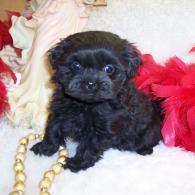 Black teacup Shih poo puppy