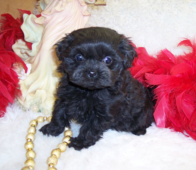 Black female Teacup Shih poo puppy