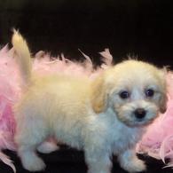 Cream Maltipoo puppy