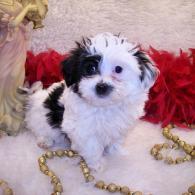 Black-white Parti' Maltipoo puppy