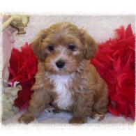 Red-white Maltipoo puppy