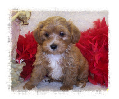 Red Maltipoo puppy with White marking on chest.