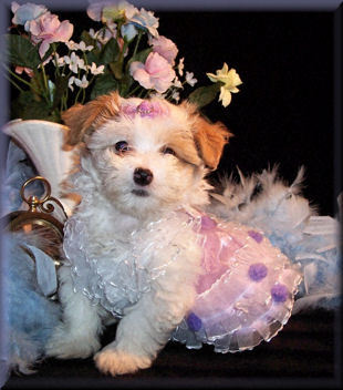 Toy size Maltipoo puppy