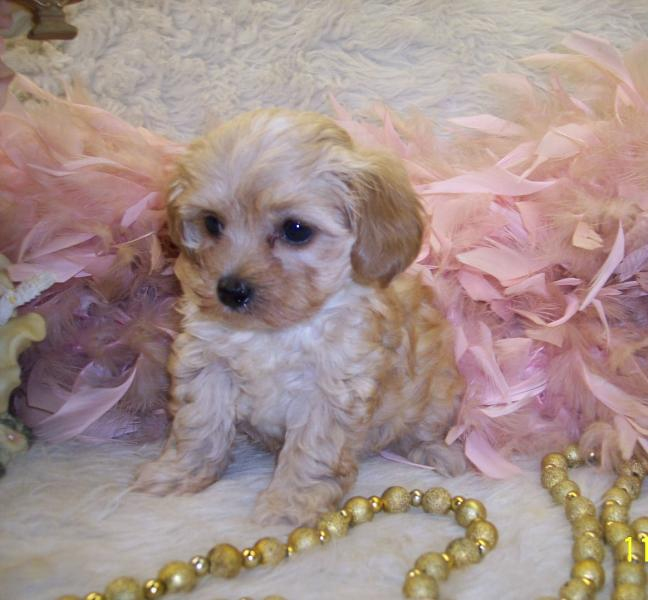 Apricot Teacup Maltipoo puppy