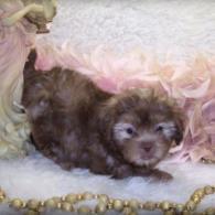 Tan Shih poo puppy