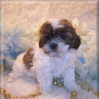 Brown-white Shih poo puppy