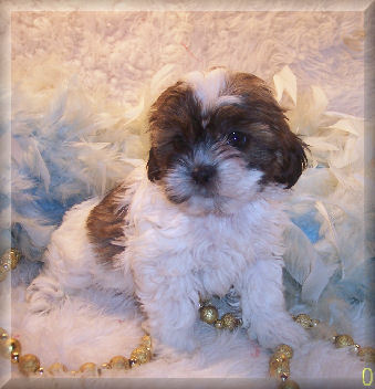 Shih poo puppy living in Midland, FL.