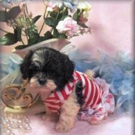 Sold Black-White Shih poo puppy