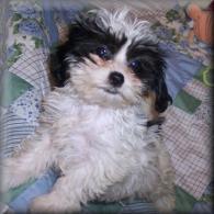 Black-white Shih poo puppy