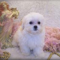 White Teacup Shih poo puppy