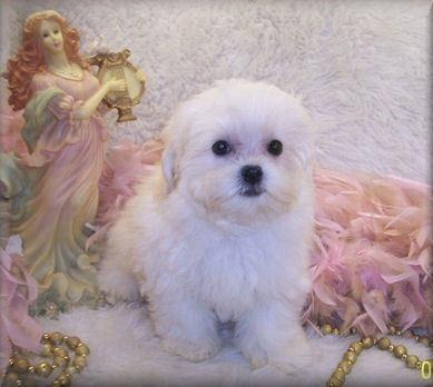 Teacup Shih poo puppy