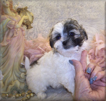 Shih poo puppy with silver or grey markings