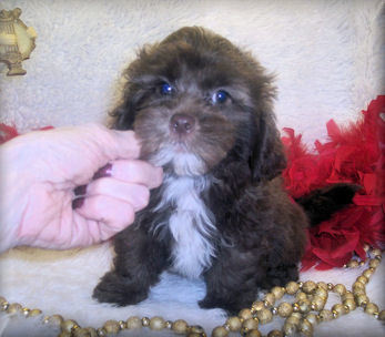 Shih poo puppy for sale