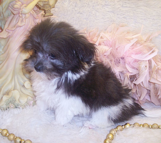 Female Maltipoo gone to live in Slidell, Louisiana