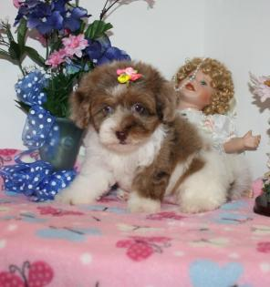 Female Chocolate Merle Yorkiepoo