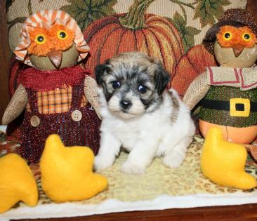 Teacup Sable Parti with Dark Markings Female Maltipoo