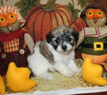 Sable Parti with Dark Markings Female Maltipoo