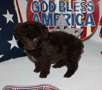 Tiny Chocolate Teacup Poodle
