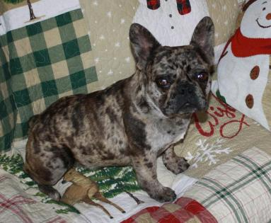 Champion Chocolate Merle French Bulldog Stud