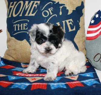 Female Black and White Parti Yorkiepoo