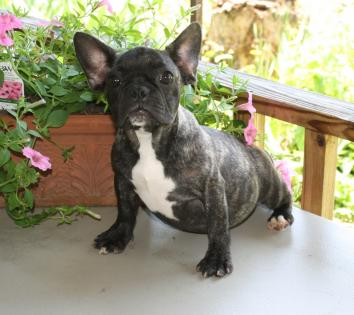Female Black Brindle French Bulldog