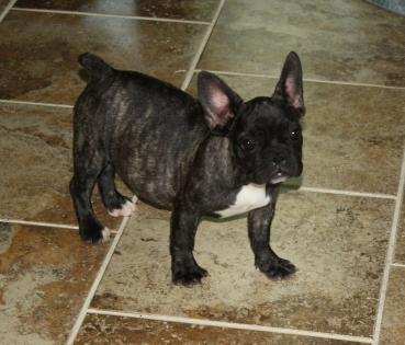 Female Black with White Chest Brindle French Bulldog