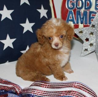 Red and White Tiny Teacup Poodle