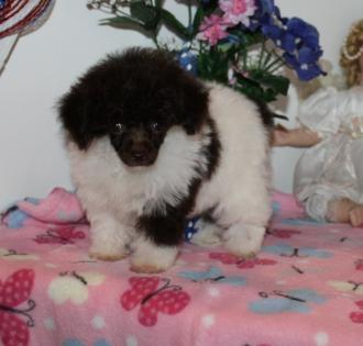 Female Tiny Teacup Chocolate and White Parti Poodle