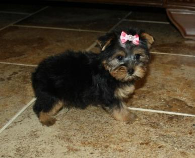 Traditional Black and Gold Yorkie