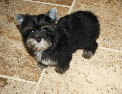 Female Black and Tan (Traditional) Yorkie