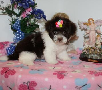 Female Chocolate and White Parti Yorkiepoo