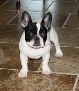 Black and White Pied French Bulldog