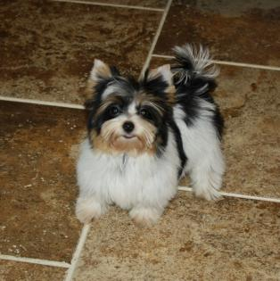 Teacup Black and White Yorkie
