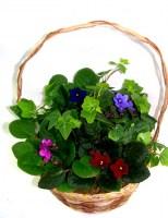 """10"""" African Violet Basket Plants"""