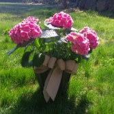 "10"" Blooming Hydrangea  Plant"
