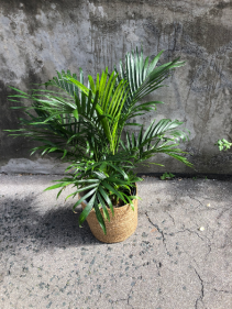 """10"""" Cat Palm Plant"""