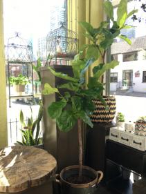 """10"""" Fiddle Leaf Ficus Standard 10"""" Fiddle Leaf Ficus Standard"""