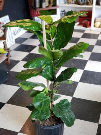 "10"" Fiddle Leaf Fig"
