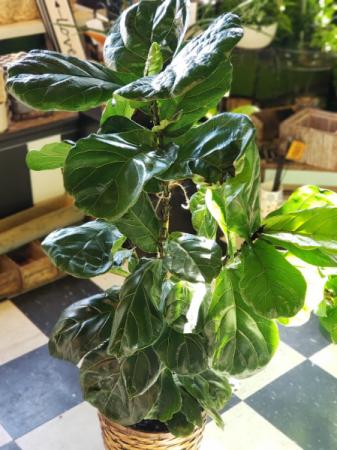 """10"""" Fiddle Leaf Fig in Basket Plant"""