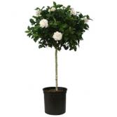 "10"" Gardenia Tree Plant"