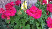 "10 "" hanging Hot pink geranium  Outdoor plant"