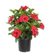 """10"""" Hibiscus Bush Plant"""