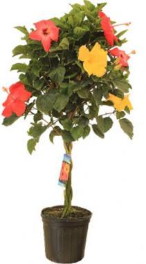 """10"""" Tri Color Hibiscus Tree Plant"""