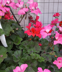 "10"" hot pink and light pink geranium Outdoor plant"